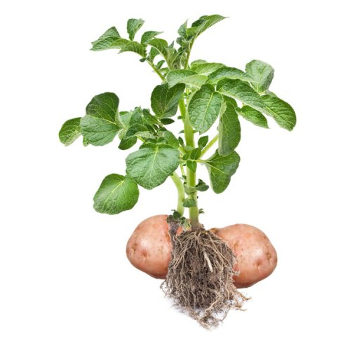 Go to the Potato genetic resources Portal